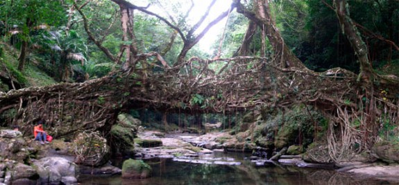 Root Bridges of India